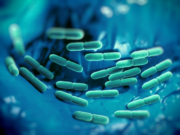 Lactobacillus bulgaricus bacteria. They are rod-shaped, gram-positive bacteria. They grow in acid media & produce lactic acid from the fermentation of carbohydrates. Lactic acid produced by the fermentation of milk is responsible for the preservation & fl (Forrás: 123 rf.com)
